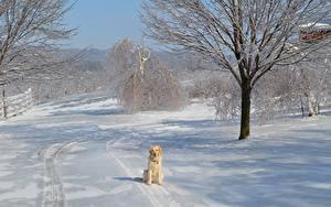 Фотография Золотистый ретривер Зима Собаки Снегу Деревья Сидящие