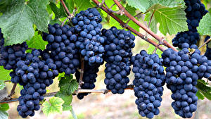 Обои для рабочего стола Виноград Ветвь Синяя Пища