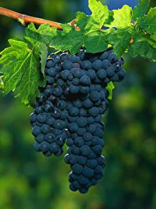 Обои Виноград Ветка Листва Синий Продукты питания