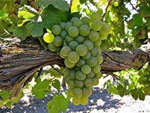 Фото Виноград Вблизи Ветки Зеленый Продукты питания