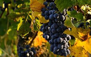 Обои Виноград Лист