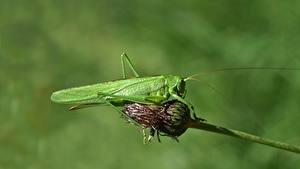 Обои Кузнечики Насекомые Боке Зеленый животное