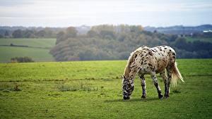 Обои Луга Лошадь Траве Животные