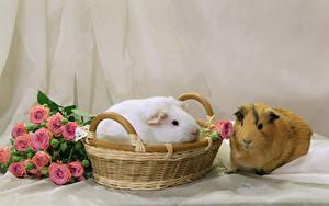 Обои для рабочего стола Морские свинки Розы Корзины Вдвоем Животные