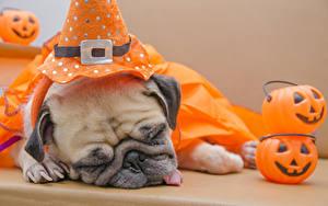 Картинка Хэллоуин Собака Тыква Мопса Сон животное