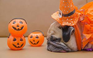 Фото Хеллоуин Собаки Тыква Мопсы Морды Спит животное