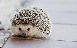 Фотография Ежики Крупным планом Смотрят Животные