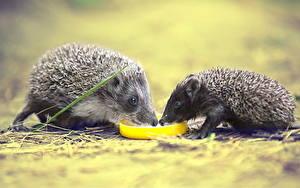 Картинка Ежи Двое Животные