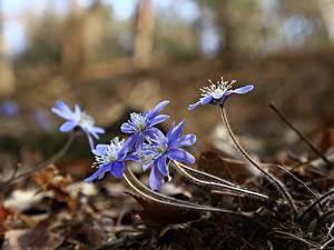 Обои Печёночница Размытый фон Голубая цветок