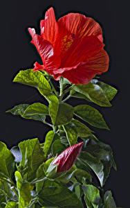 Фото Гибискусы На черном фоне Красный Бутон Листва Цветы
