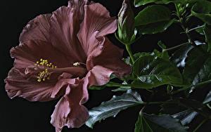 Картинки Гибискусы Крупным планом Черный фон Бордовая Бутон Цветы