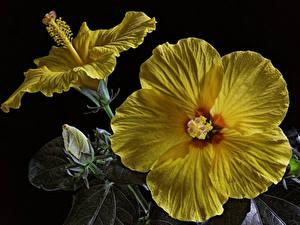 Обои Гибискусы Крупным планом Черный фон Желтых Бутон цветок