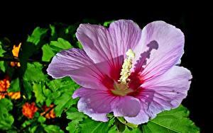 Картинка Гибискусы Вблизи Розовая цветок