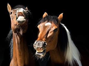 Картинка Лошадь Крупным планом На черном фоне 2 Голова Злость Забавные животное