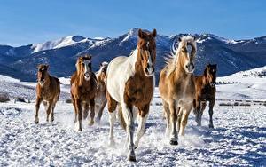 Картинка Лошадь Бежит Снега животное