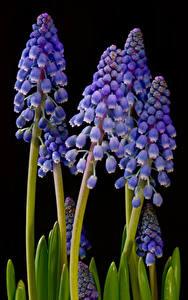 Обои Гиацинты Вблизи На черном фоне Цветы