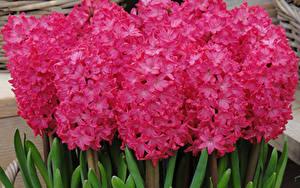 Фото Гиацинты Крупным планом Розовый Цветы