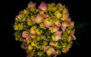 Картинки Гортензия Крупным планом На черном фоне цветок