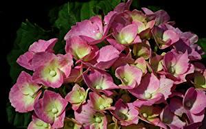 Обои для рабочего стола Гортензия Крупным планом Много Розовый Цветы