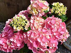 Картинка Гортензия Вблизи Розовые цветок