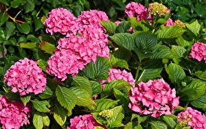 Фотография Гортензия Вблизи Розовая Листва цветок