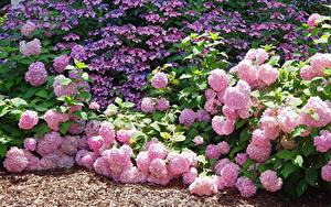 Фотографии Гортензия Розовые Цветы