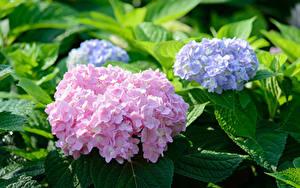 Фото Гортензия Розовая Фиолетовая цветок