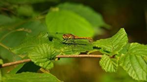 Фотография Насекомые Стрекозы Ветки Листья Боке животное