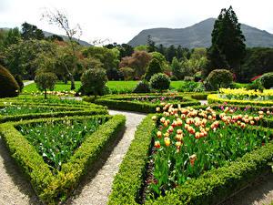 Фотографии Ирландия Сады Тюльпаны Кустов Дизайн Muckross House Gardens Природа