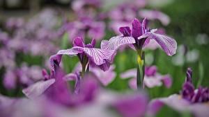 Фотография Ирис Боке Фиолетовая цветок
