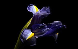 Картинки Ирисы Вблизи Черный фон цветок
