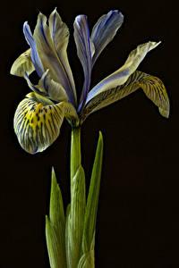 Картинки Ирисы Вблизи На черном фоне цветок