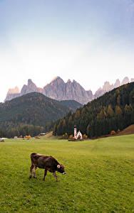 Картинка Италия Гора Церковь Коровы Трава Альпы Dolomites, Santa Maddalena Природа