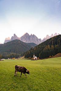 Картинка Италия Гора Церковь Коровы Трава Альпы Dolomites, Santa Maddalena