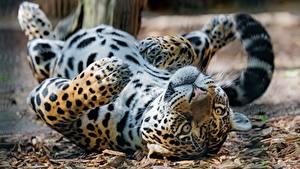 Обои Ягуары Лежат Смотрят Лапы Животные