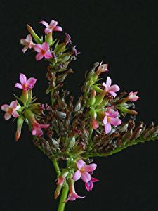 Картинки Каланхое Черный фон Ветвь Розовый цветок
