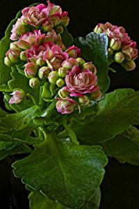 Фото Каланхое Крупным планом На черном фоне Бутон Цветы