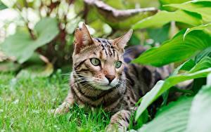 Фото Бенгальская кошка Кошка Листья Траве Лежит Взгляд Животные