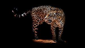 Фотографии Леопарды На черном фоне Животные