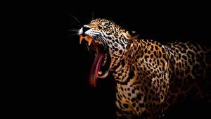 Картинка Леопард Черный фон Язык (анатомия) Зевающая животное
