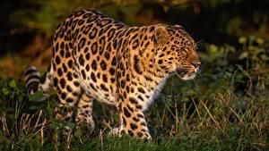 Картинки Леопард Траве Боке животное