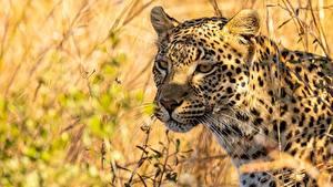 Обои Леопарды Трава Морда Усы Вибриссы Смотрят животное