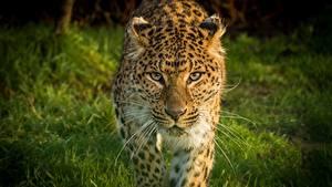 Картинки Леопарды Морды Взгляд Усы Вибриссы Животные