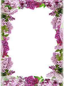 Картинка Сирень Ветки Шаблон поздравительной открытки