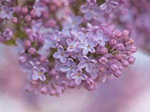 Картинки Сирень Вблизи Лепестков Боке цветок