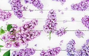 Фото Сирень Доски цветок