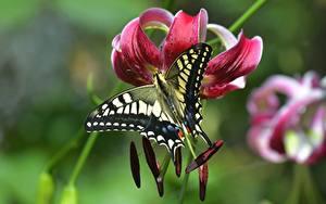 Обои Лилии Бабочки Вблизи Размытый фон Papilio machaon цветок Животные