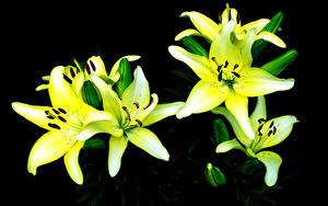 Фото Лилия Крупным планом цветок