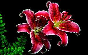 Фото Лилия Крупным планом На черном фоне Красная цветок