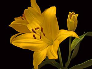 Фотографии Лилии Вблизи На черном фоне Желтых Цветы